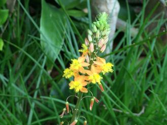 Bulbine frutescens, burn jelly plant. Sap used like Aloe vera. Attracts stingless bees.