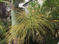 Hyophorbe lagenicaulis, bottle palm. Excellent and attracts native Homalictus bees which help it set seed.