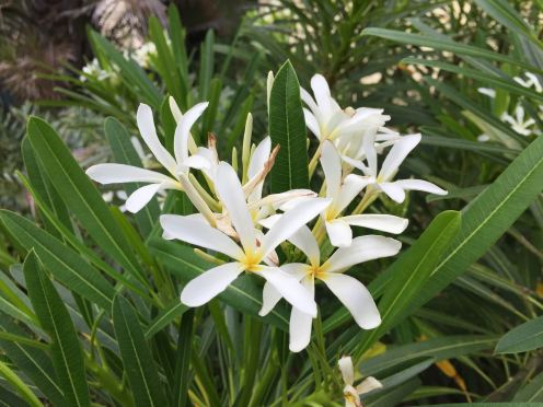 Plumeria filifolia. Resistant to frangipani rust and only stops flowering in July and August. Produces viable seed.
