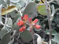 Kalanchoe orgyalis. Flowers attract birds. Very successful.