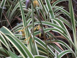 Dianella caerulea 'Variegata'. Requires an occasional splash of water to keep looking fresh during ongoing drought.