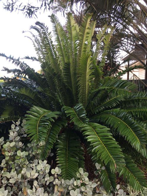 Encephalartos altensteinii thrives even in drought. Very successful.