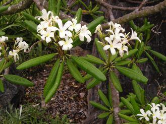 Plumeria obtusa var. sericifolia is resistant to frangipani rust. Very successful.