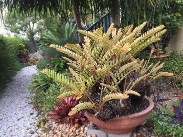 Zamia furfuracea, aka cardboard fern, is one of the most successful cycads for a warm, dry, sunny position.