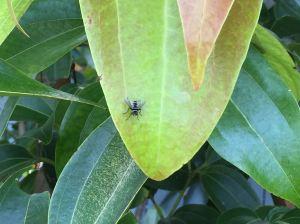 Australian Leafroller Tachinid, Trigonospila brevifacies - 4