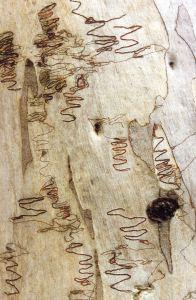 Eucalyptus sclerophylla