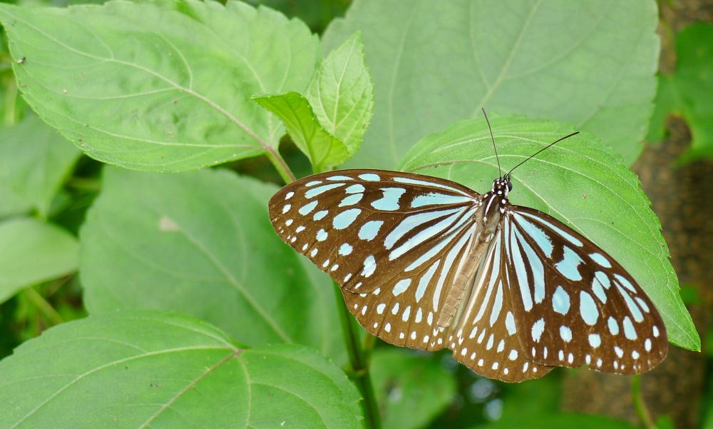 Blue glassy tiger butterfly, Ideopsis vulgaris/ Vietnam - 2