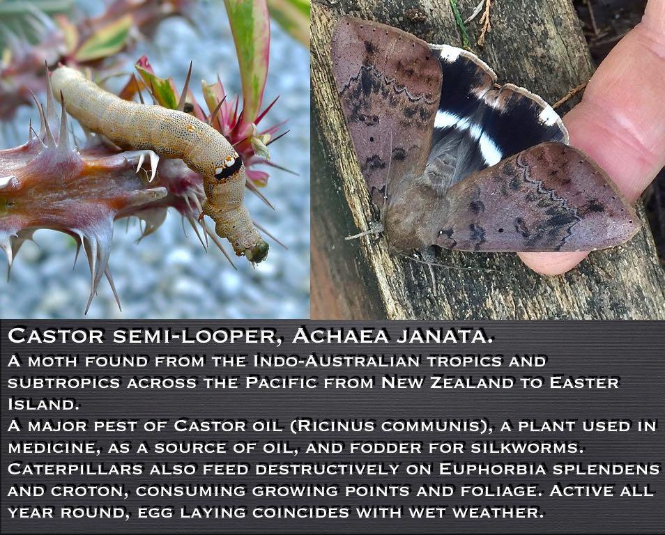 Castor semi-looper or Croton looper moth, Achaea janata