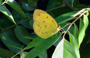 grass yellow butterfly, Eurema hecabe - 1