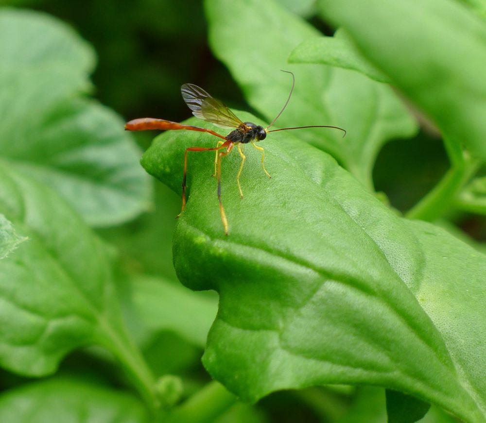 Two-toned caterpillar parasite wasp, Heteropelma scaposum, Ichneumonidae - 3