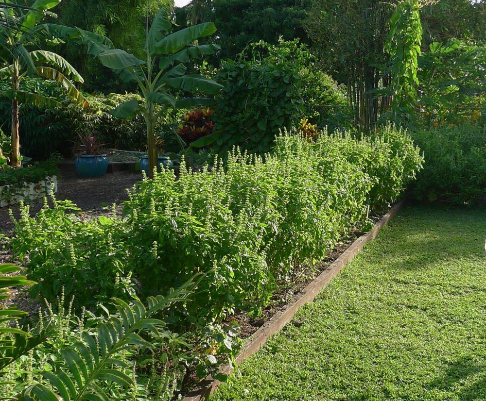 11m row sweet basil, Ocimum basilicum - 6