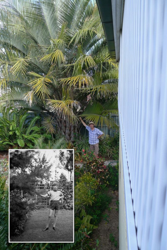 Jerry totem Chilean Wine palm, Jubaea chilensis, Scot's pine, Pinus sylvestris - 2