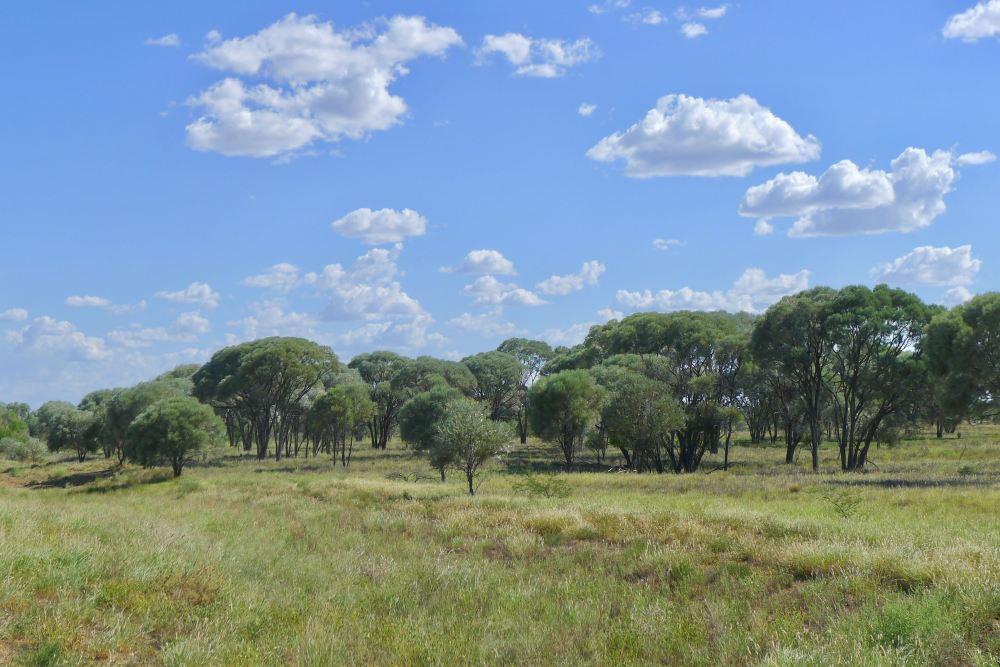 Mitchell, Astrebla sp grassland w Black gidyea, Acacia argyrodendron
