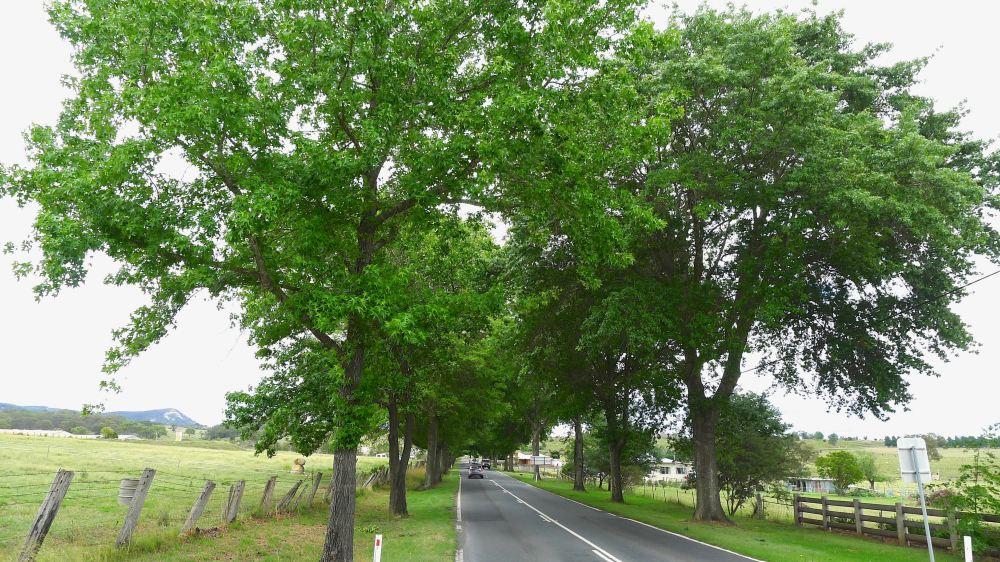 Pin Oak Avenue, Quercus palustris, Tenterfield - 1