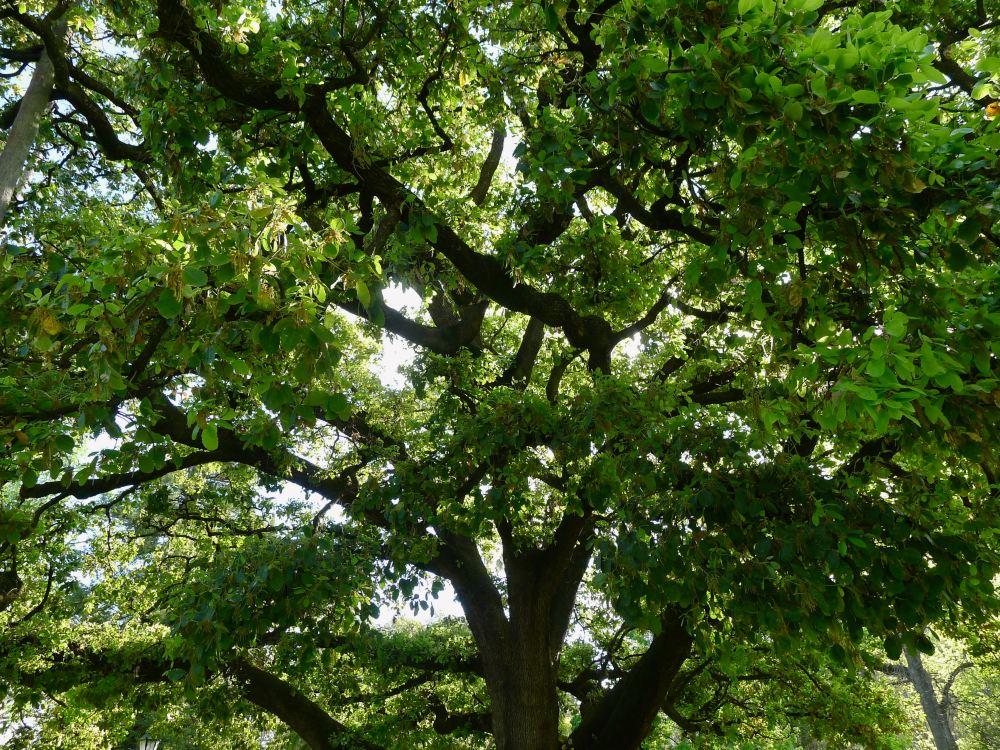 Quercus ilex subsp. ballota, Barbary oak - 4