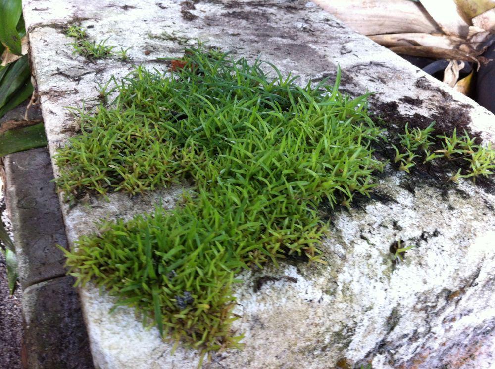 $50k worth of Alcantarea seedlings - 3