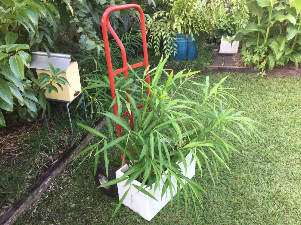 ginger, Zingiber officinale/ self-watering pot - 1