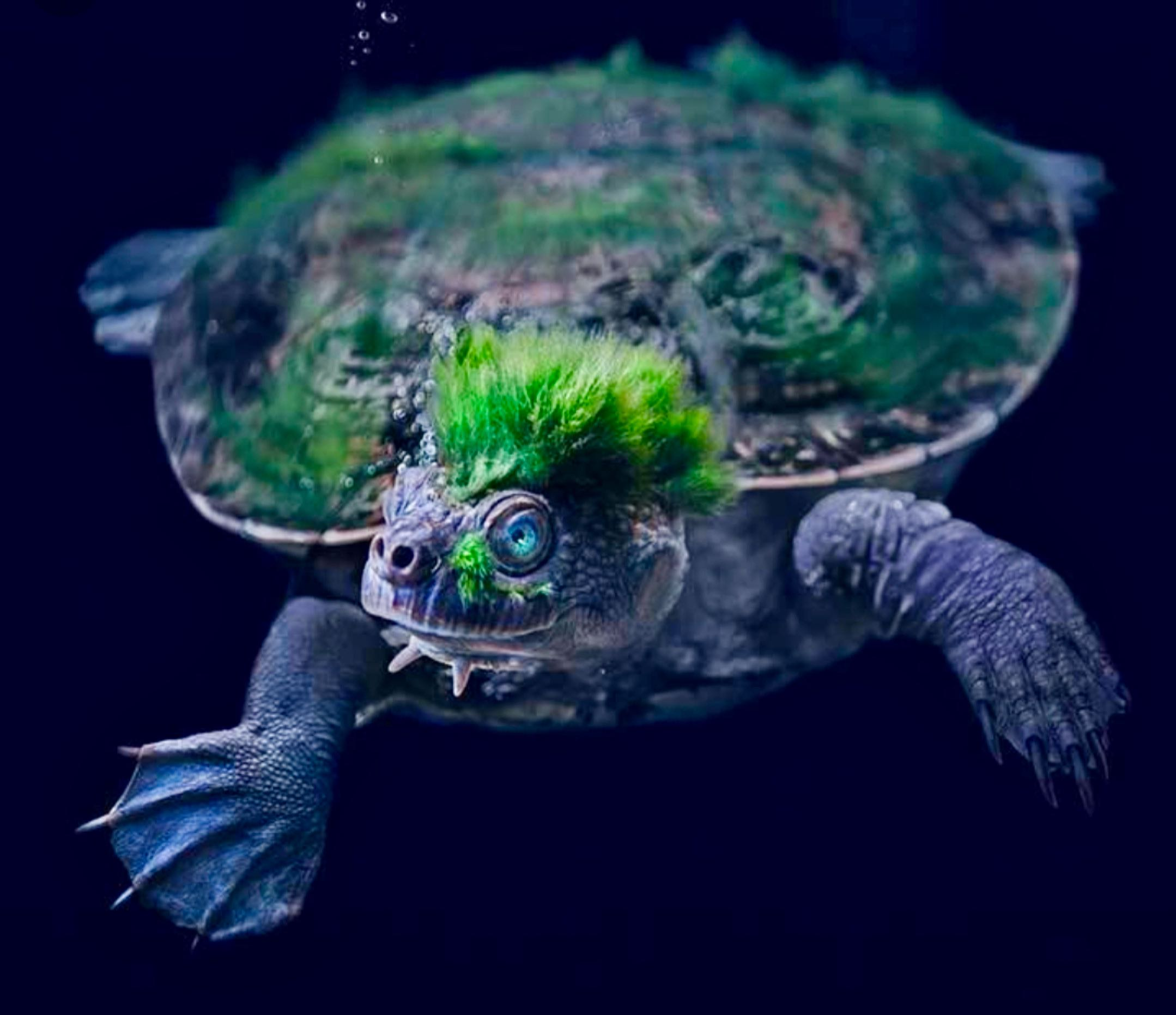 The Mary River Turtle Uniquely Australian Ancient And Endangered Jerry Coleby Williams
