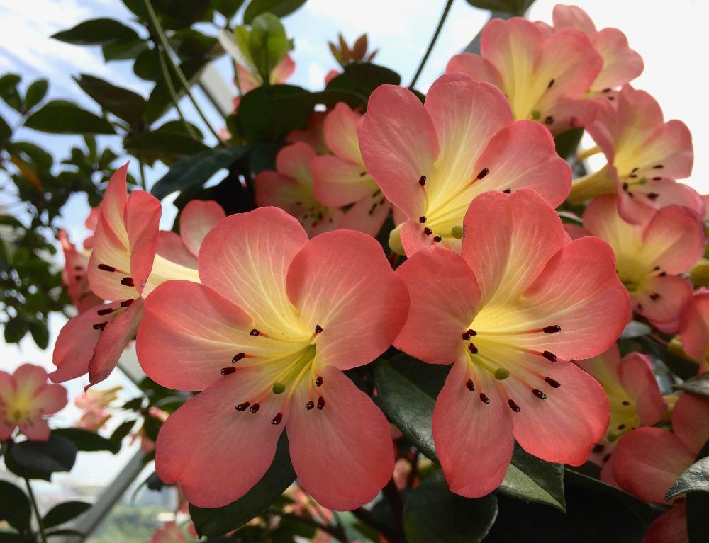 Vireya Rhododendron - 1