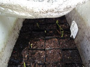Jackfruit seedlings germinate, Artocarpus heterophyllus