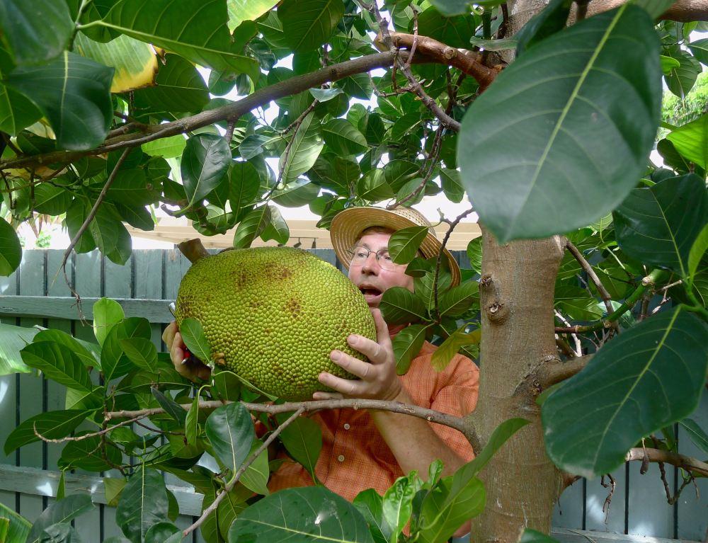 Jerry/ 10kg Easter Jackfruit aka Mít, Artocarpus heterophyllus - 1