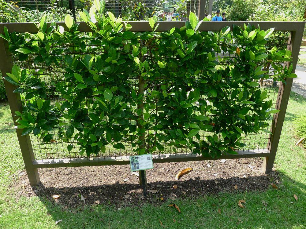 Artocarpus espalier jackfruit