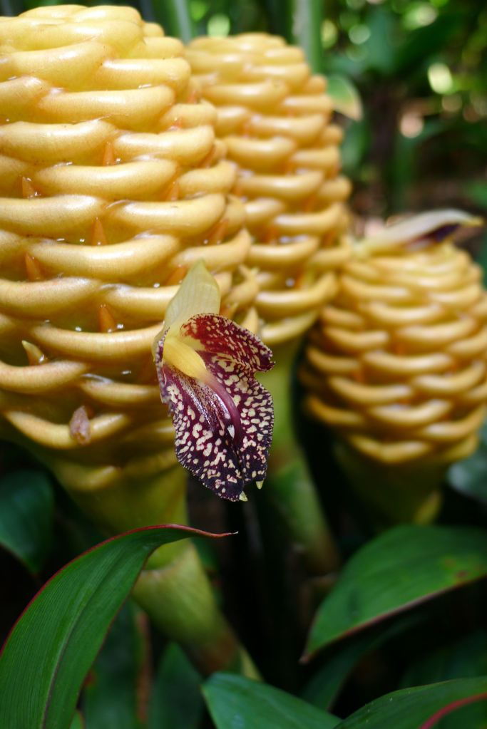 Closeup of beehive ginger flowers.