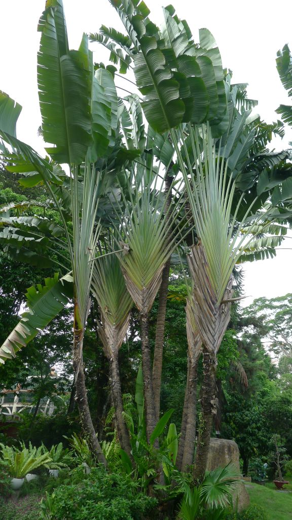 Stand of traveller's palms.