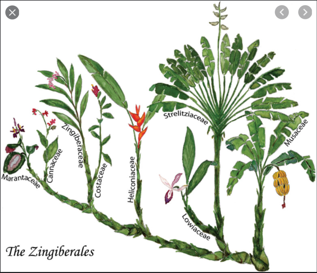 A graphic family tree image of the Zingiberales order.