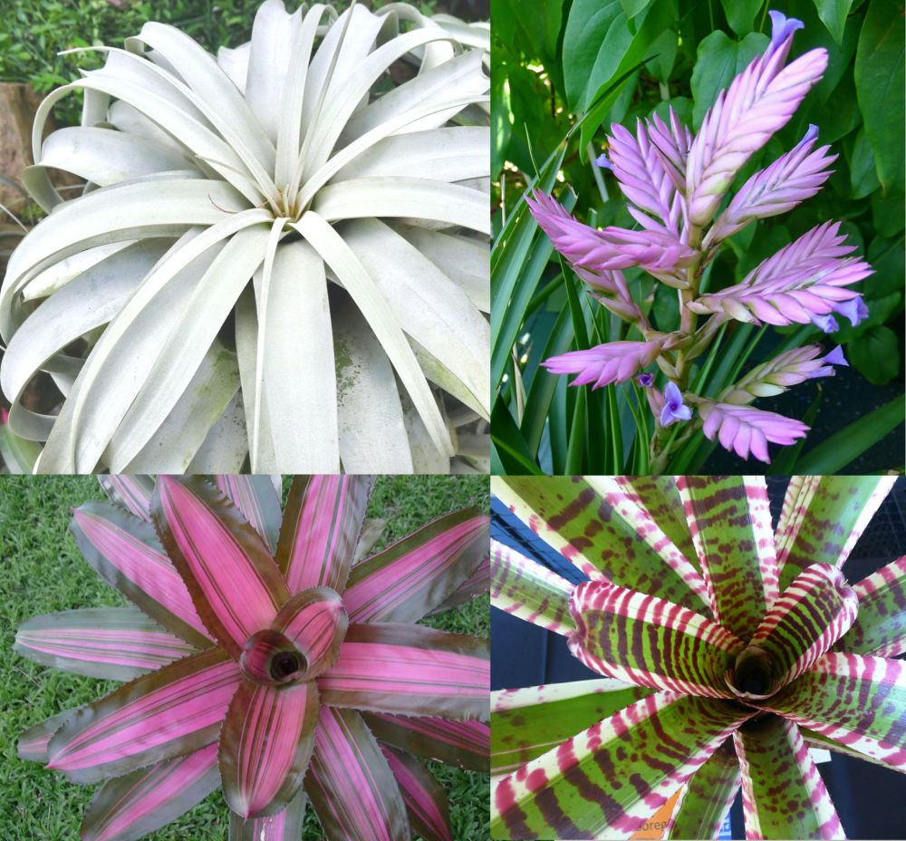 Review: Starting with Bromeliads, by Robert Reilly, published by the Bromeliad Society of Queensland, September 2021.